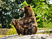 Grizzly Bear gives himself a stretch