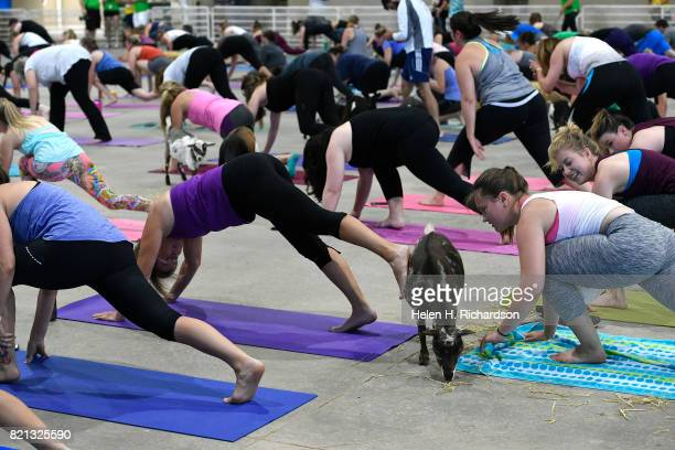 A yogi pets a young goat with her foot during goat yoga at the Denver County Fair on July 23 2017 in Denver Colorado 236 yogis turned out to do yoga...