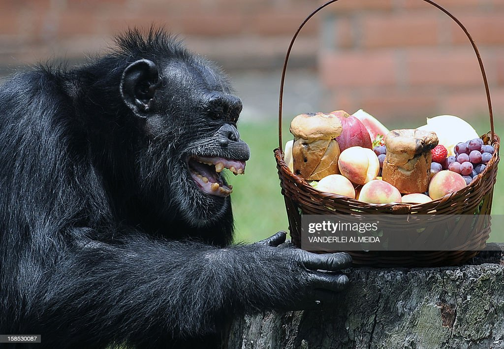 Yoko, a chimpanzee (Pan Troglodytes), reacts after receiving a Christmas hamper, at Rio de Janeiro's zoo on December 18, 2012.