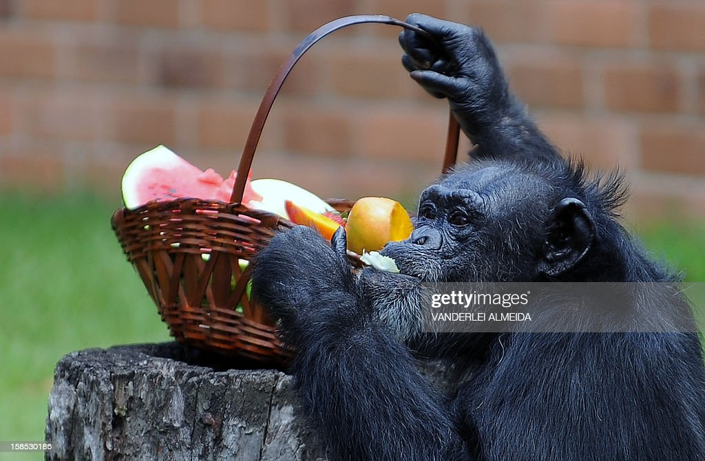 Yoko, a female chimpanzee (Pan Troglodytes), enjoys some fruits after receiving a Christmas hamper, at Rio de Janeiro's zoo on December 18, 2012.