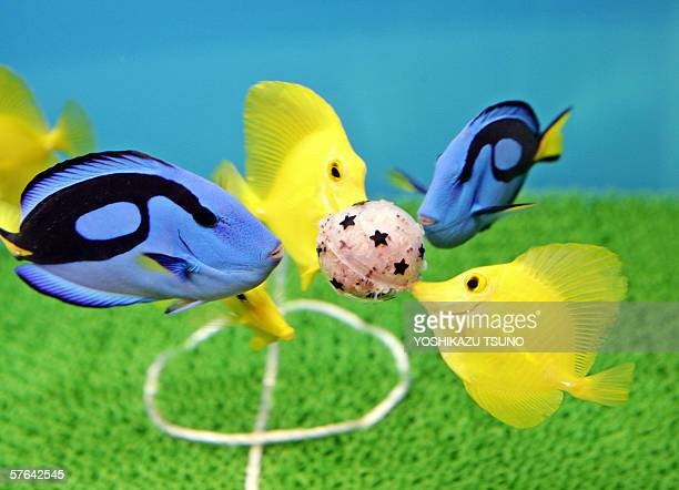 Yellow Tang and Blue Palett Surgeon fish pick fishbait packed ball looking like playing soccer on a football field shaped fishtank at the Hakkeijima...