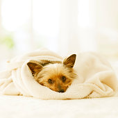 York Shire Terrier In A Blanket