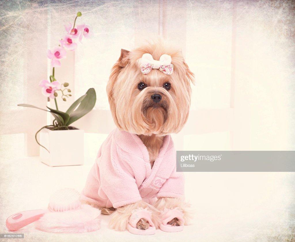 Yorkie en rosa bata de baño y pantuflas en la peluquería para : Foto de stock