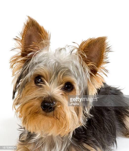 Yorkie 子犬のクローズ