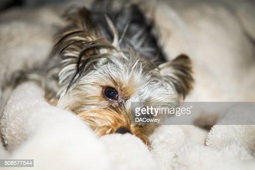 Yorkie Puppy Cozy in Blanket : Stock Photo