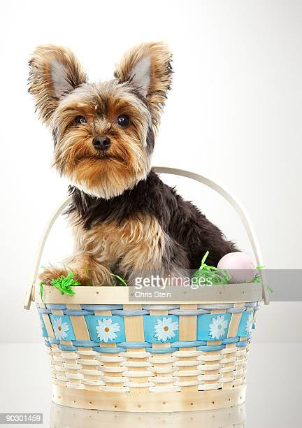Yorkie sitting in an Easter Basket