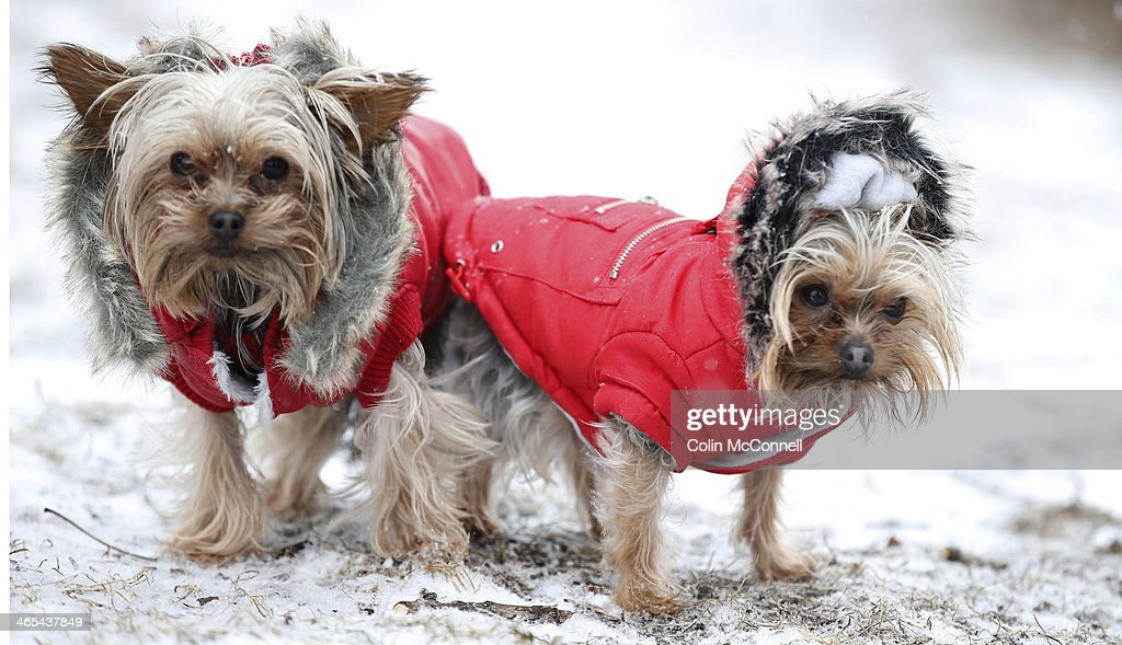 Yorkies Joey and Teddy are dressed for the weather with their little red coats, as they brace for the snow and cold temperatures that have been hitting Toronto this winter. January 25, 2014.