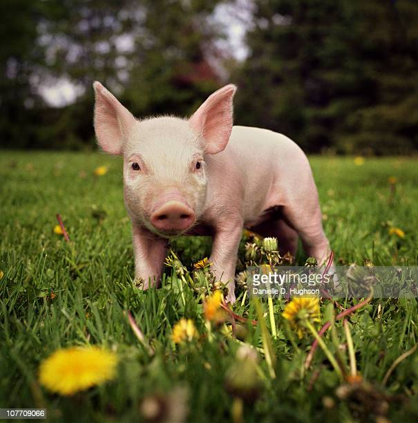 Yorkshire piglet on an Iowan farm