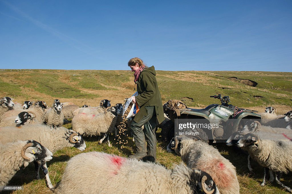 Yorkshire Shepherdess Amanda Owen feeds some of her sheep on April 15, 2014 near Kirkby Stephen, England. Amanda Owen runs a 2,000 acre working hill farm in Swaledale which is one of the remotest areas on the North Yorkshire Moors. Working to the rhythm of the seasons the farm has over 900 Swaledale sheep that are now entering the lambing season as well as cattle and horses.
