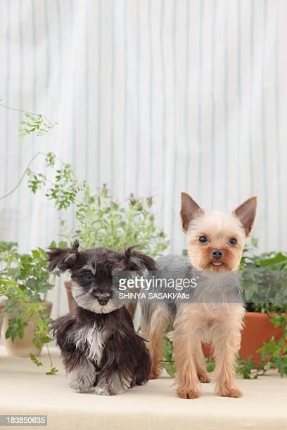 Yorkshire Terrier and Miniature Schnauzer