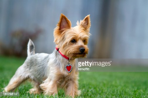 Yorkshire Terrier At Attention