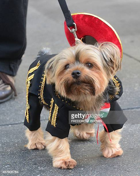 Yorkshire Terrier Chester dressed as a 'Mariachi' awaits the start as pet owners take their dogs dressed in Halloween costumes for a walk in the...