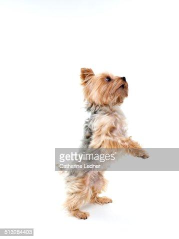 Yorkshire Terrier Dancing in Studio
