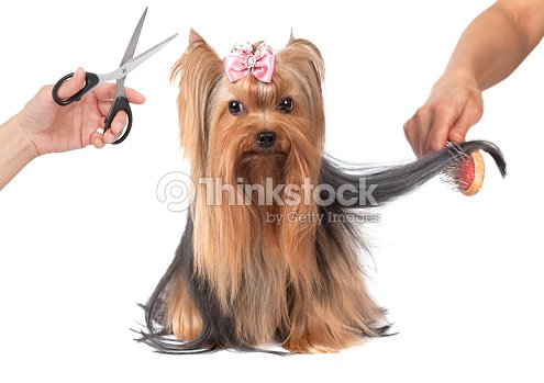 Yorkshire Terrier Dog Grooming Stock Photo Thinkstock