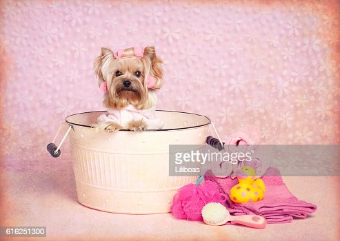 Yorkshire Terrier dog in a washtub with goggles : Stock Photo