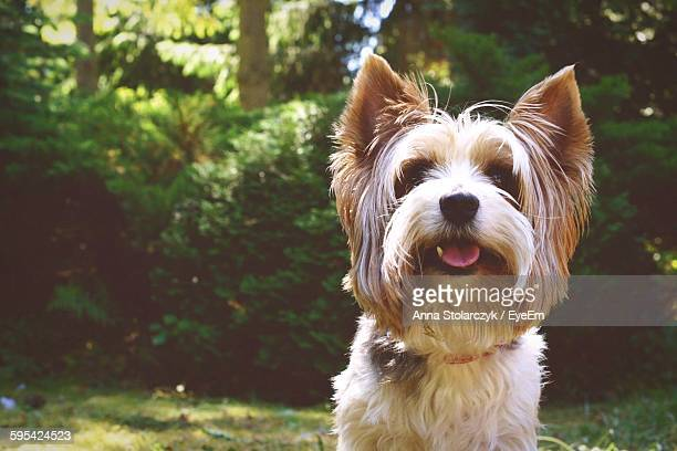 Yorkshire Terrier Dog Sticking Out Tongue Sitting Against Trees
