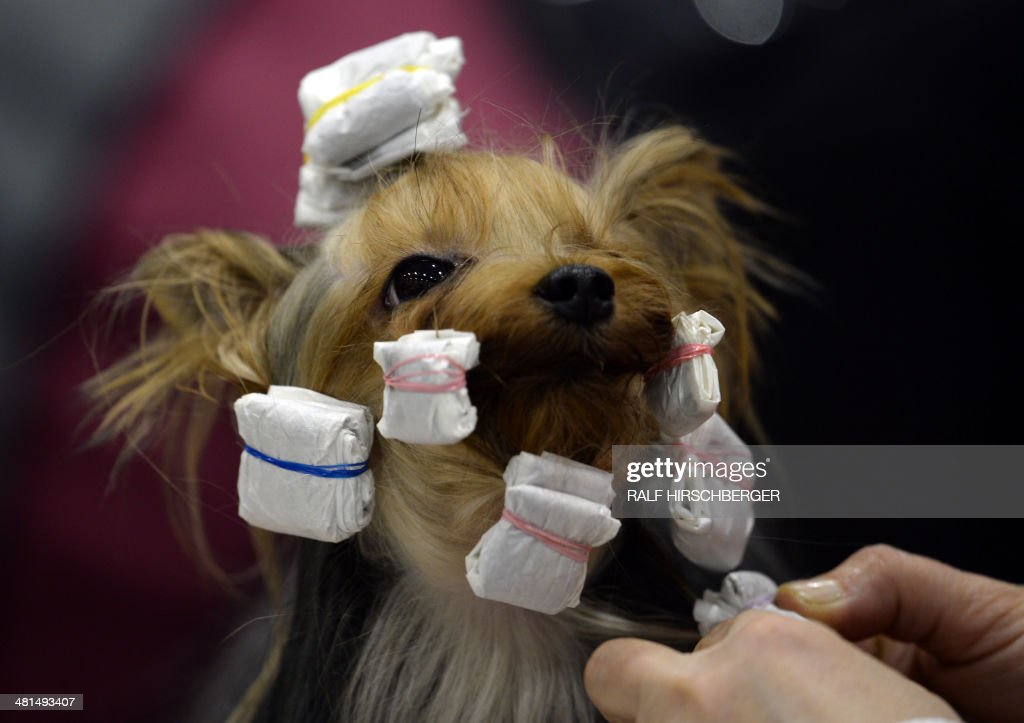 A yorkshire terrier gets prepared for a competition during a International pedigree dog exhibition in Schoenefeld, estern Germany, on March 30, 2014. Around 5300 dogs can be seen at the exhibition that opens its doors from March 29 to 30, 2014.