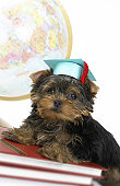 Yorkshire Terrier Graduating From College
