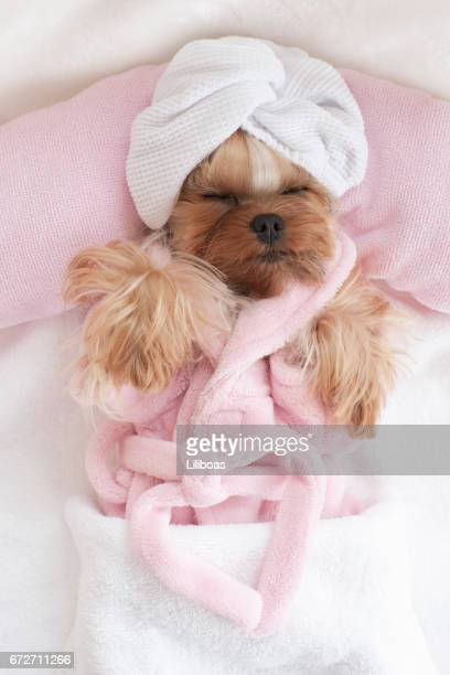 Yorkshire Terrier in a Robe and Wrapped in a Towel at the Pet Grooming Salon