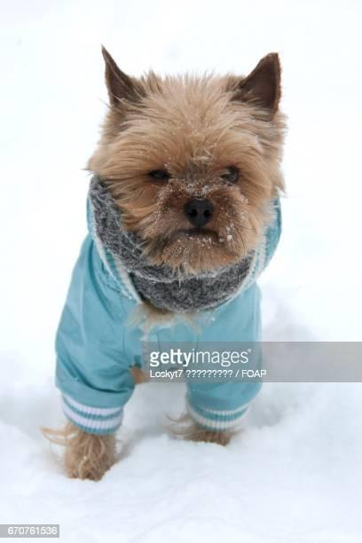 Yorkshire terrier in costume