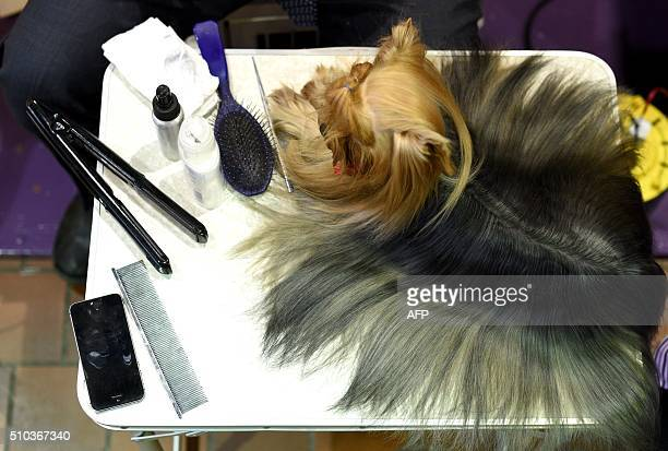A Yorkshire Terrier is groomed in the benching area February 15 2016 in New York during the first day of competition at the Westminster Kennel Club...