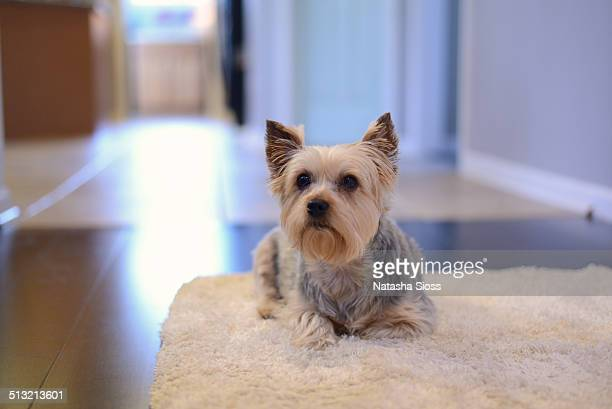 Yorkshire terrier laying on a white rug