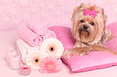 Yorkshire terrier lying on pillows with Gerber daisy flower and candles relaxing at the grooming salon spa