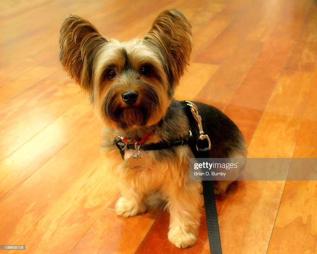 Yorkshire Terrier on floor : Stock Photo