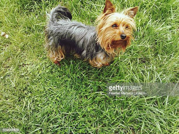 Yorkshire Terrier On Grassy Field