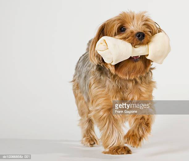 Yorkshire Terrier on white background walking with large bone in mouth