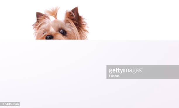 Yorkshire Terrier Playing Peek A Boo