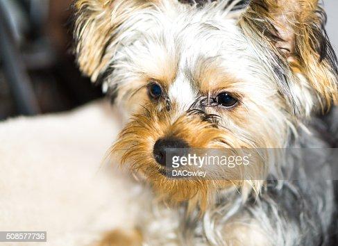 Yorkshire Terrier Porträt : Stock-Foto