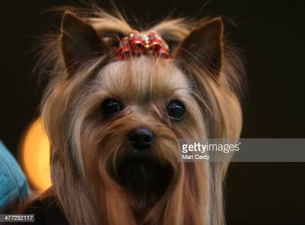 Yorkshire Terrier prepares to be judged during the Toy and Utility day of the Crufts dog show at the NEC on March 8 2014 in Birmingham England Said...