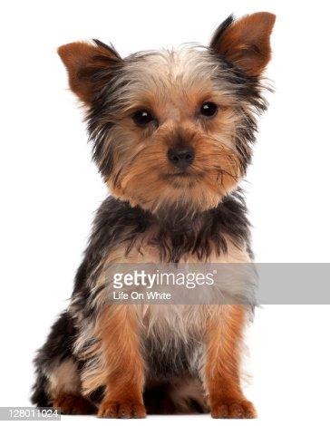 Yorkshire Terrier puppy (4 months old)