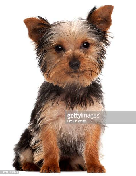 Yorkshire Terrier puppy (4 months old)