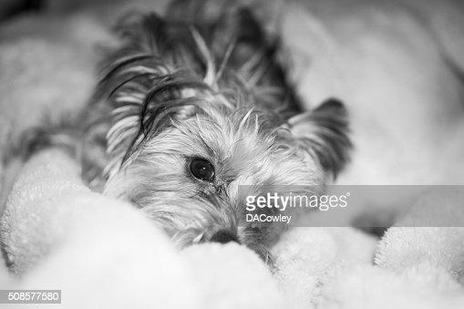 Yorkshire Terrier Puppy Portrait : Stock Photo