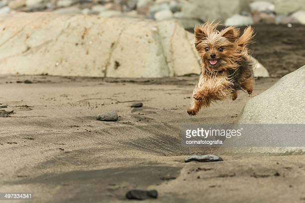 Yorkshire Terrier running on beach