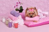 Yorkshire Terrier at the spa.Some others you might also like: