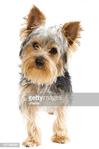 Yorkshire Terrier Standing Looking at camera Isolated on White