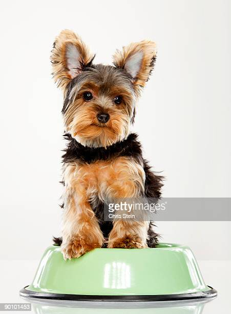 Yorkshire Terrier Teacup in a food dish