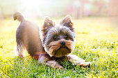 Yorkshire terrier waiting for play, sunlight background