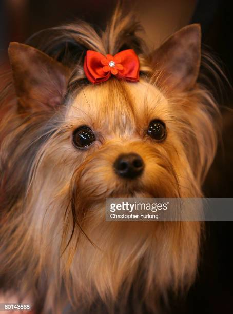 Yorkshire Terrier waits to go in the parade ring at Crufts 2008 held at the National Exhibition Centre on March 6 in Birmingham England During this...