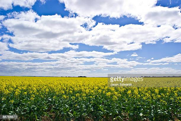 A vast field of canola flowers growing near the You Yang ranges.