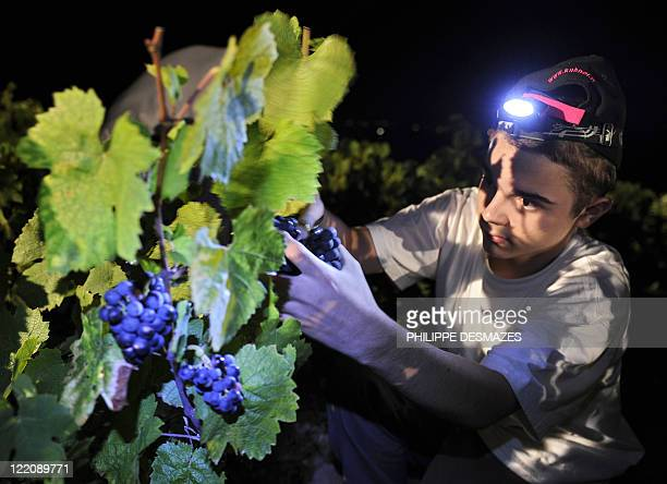 A younf boy cuts grapes during a night harvest early on August 23 2011 in the 'Moulin à Vent' vineyard near Chenas Beaujolais southeastern France...