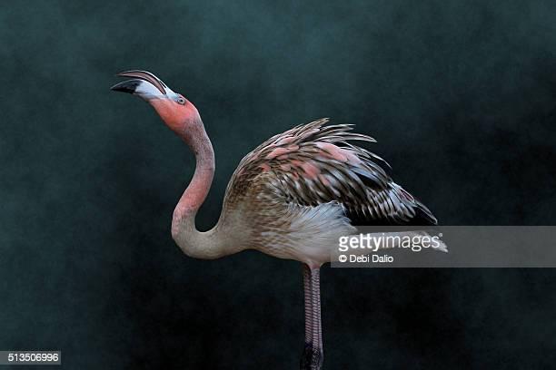 Young Adult American Flamingo Profile Portrait