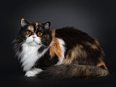 Young adult tortie British Longhair cat, laying down side ways. Looking at camera with dark orange pigmented eyes. Isolated on black background/