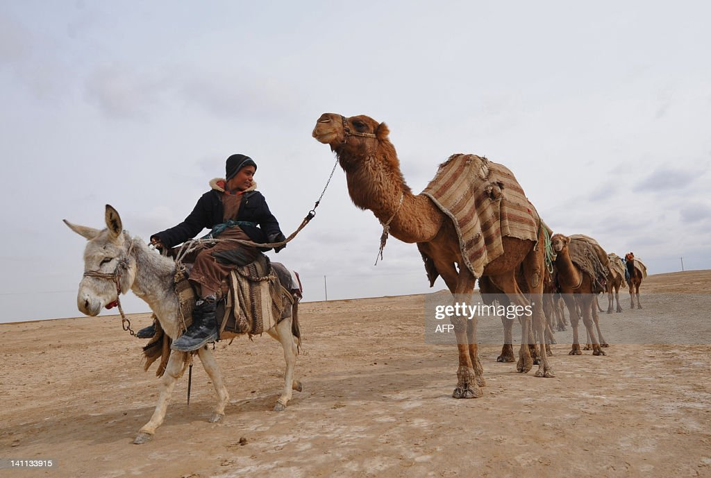 A young Afghan man of Turkmen ethnicity leads his camels near the Balkh province village of Siah Gerd on March 10 2012 Mazari Sharif which means...