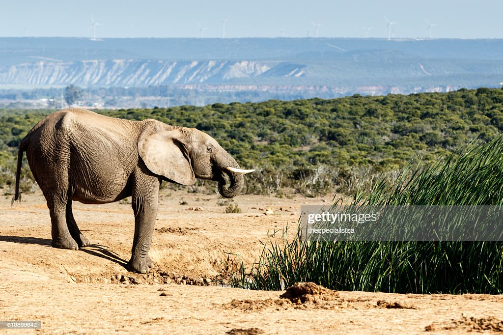 Young African Bush Elephant drinking water : Stock Photo