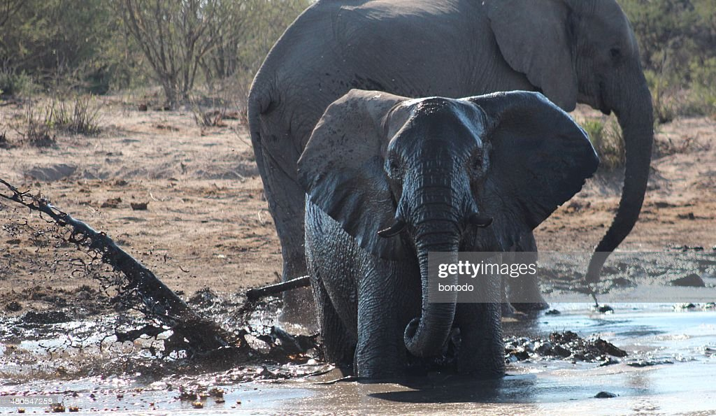 Young African elephant splashing water in Botswana : Stock Photo