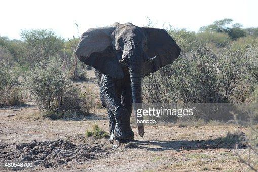 Jovem Elefante africano (Loxodonta Africana) walkng no Botswana : Foto de stock